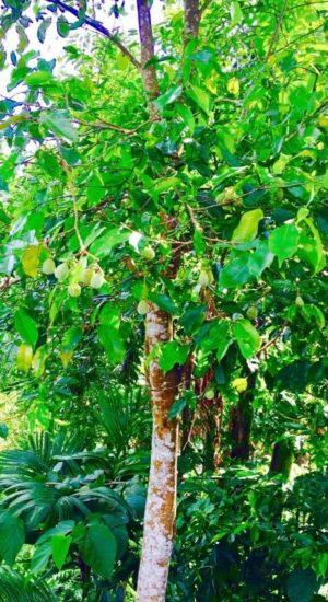 agarwood1