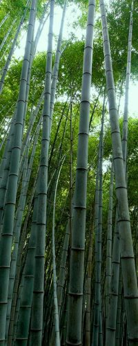 bamboo forest, bamboo, green