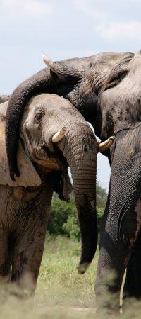 elephants, animals, savanna